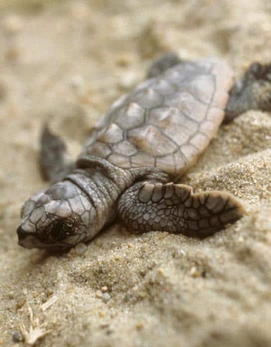 Schildkröten Saison an der Paradise Coast